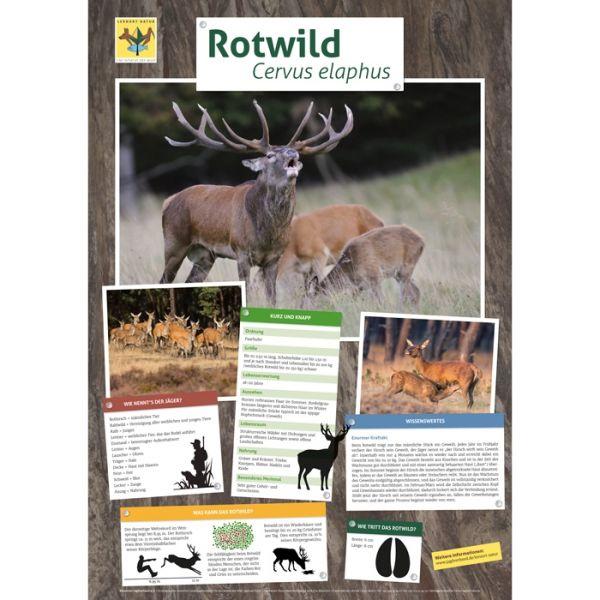 Lernort Natur-Tierposter Rotwild NEU