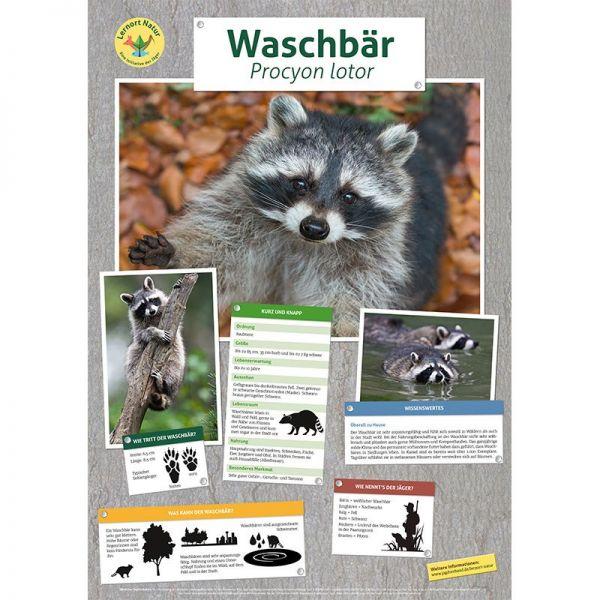 Lernort Natur-Tierposter Waschbär